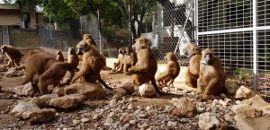 Baboons with RFID tags